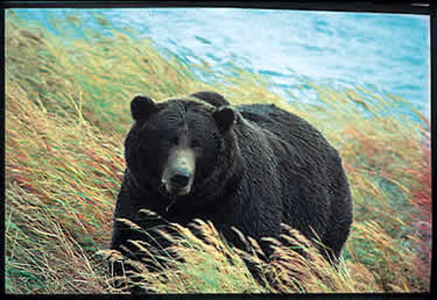 Ursa major: lumbering among the grasses. Barry Gilbert.