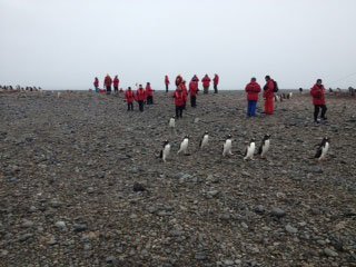 Gentoo penguins crossing in front of Katie Snowden at Yankee Harbour
